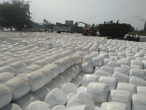 corn silage in production
